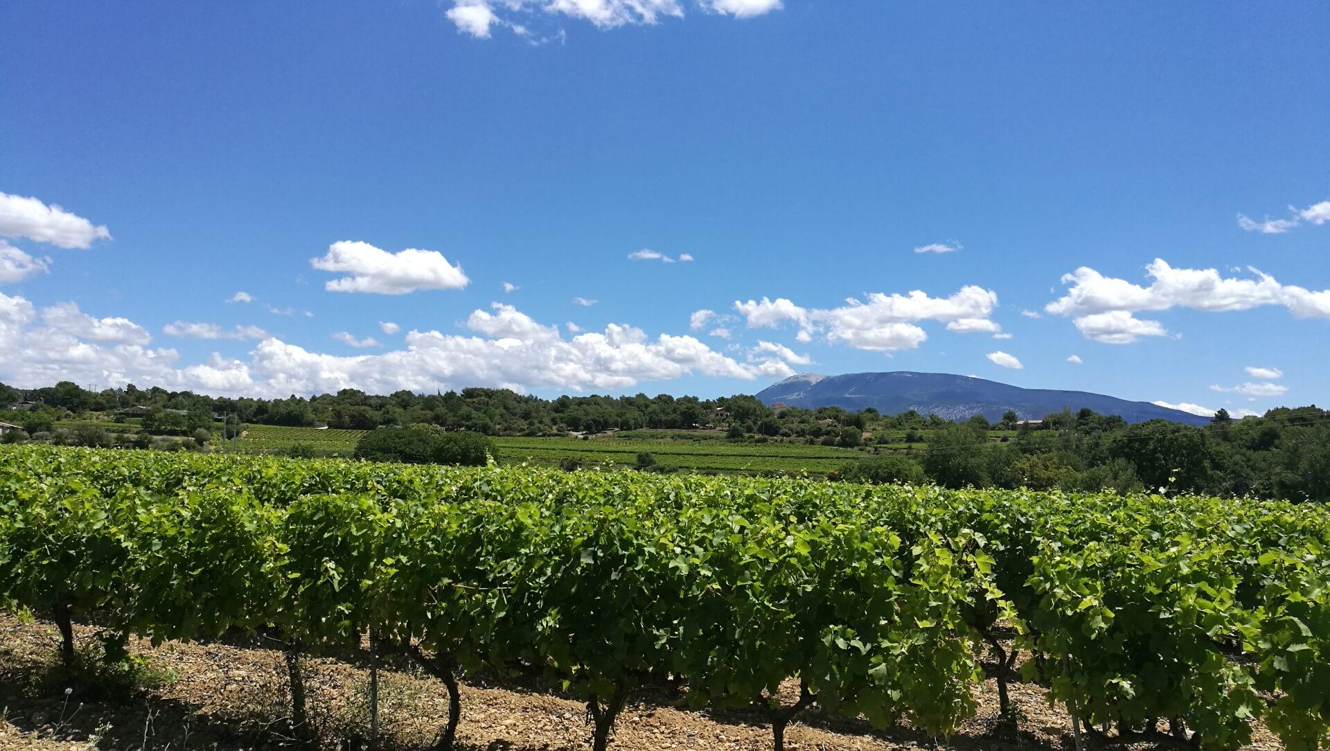 Un vignoble des Côtes-du-Rhône avec le Mont Ventoux en arrière fond
