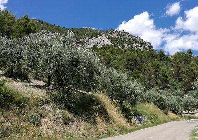 Les olives noires de Nyons lors de l'itinéraire vélo Abricots et Vignes