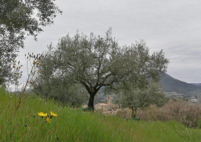 Doorkijkje door olijfboom op Mirabel-aux-Baronnies