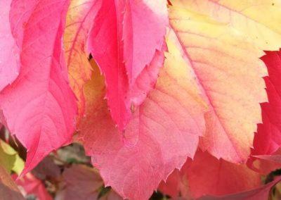 Beautifully coloured vine leaves
