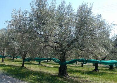 Olijvenboom met oogstnetten