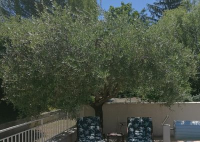 Zwarte olijven van Nyons olijvenboom bij het zwembad van Le Rêve Provençal